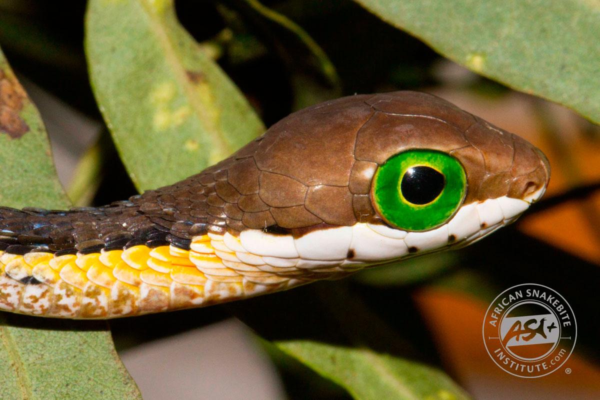 juvenile boomslang snake