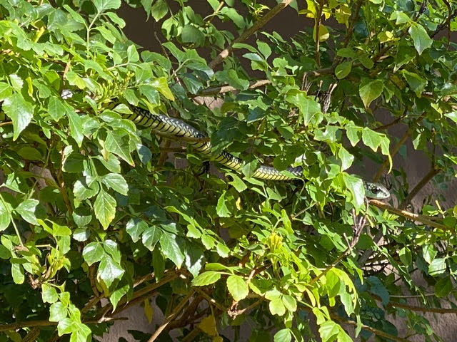 boomslang snake in bush