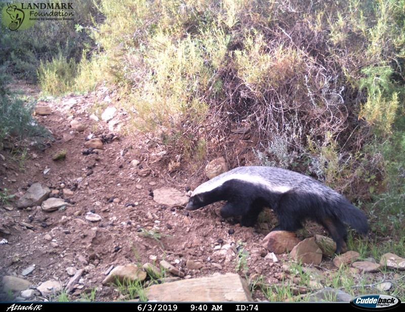 honey badgers on game drives near cape town