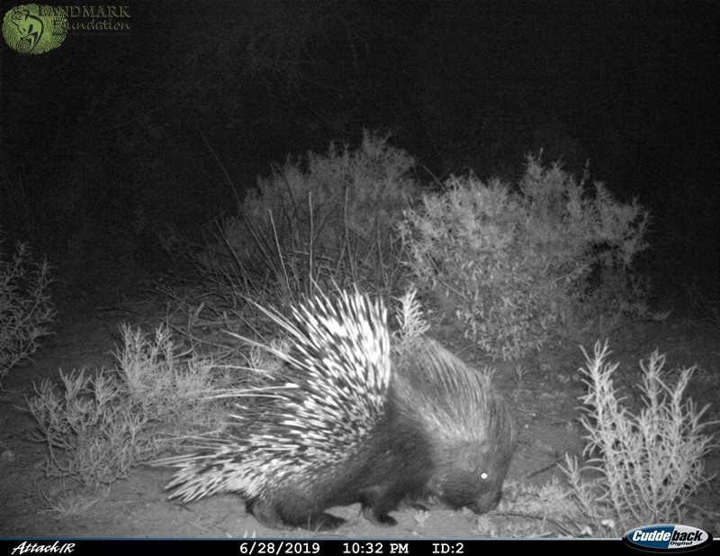 cape porcupine on game drives near cape town